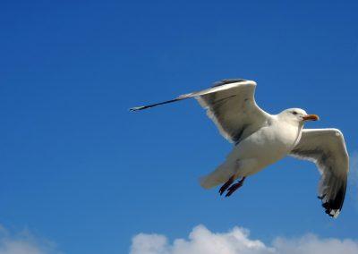 seagull-2787285_1920